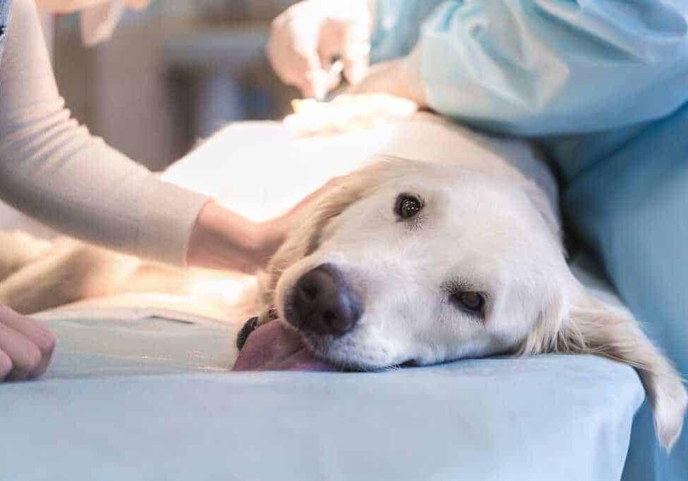 Canine Health Academy Cruciate Recovery Accelerator Course Labrador Having Cruciate Surgery Min